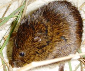 Florida salt marsh vole, an endangered animal in the state of Florida