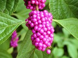 American Beautyberry bush native to Florida