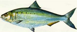 In Florida, the American shad occurs only in the northeast, mostly in the St. Johns River and Nassau River.
