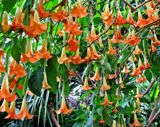 angels trumpet, a toxic plant in Florida