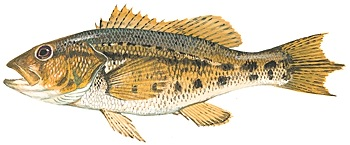 Bank sea bass, part of the grouper family of fish