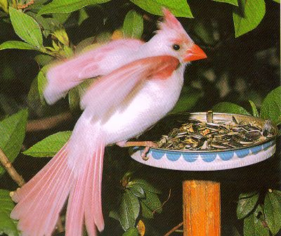 a rare albino cardinal bird seen at a bird feeder in Florida