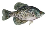 black crappie fish found in Florida rivers and lakes