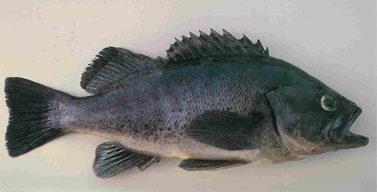 black sea bass, a member of the grouper family