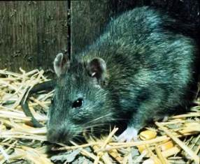 The Black Rat is omnivorous, eating seeds, nuts, vegetables, fruits, insects and invertebrates.