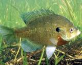 bluegill fish are found throughout the state of Florida