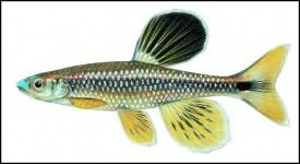 bluenose shiner fish of special interest in Florida