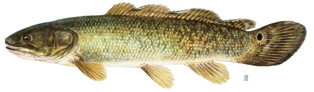 The bowfin is the only living representative of an ancient family of fishes.