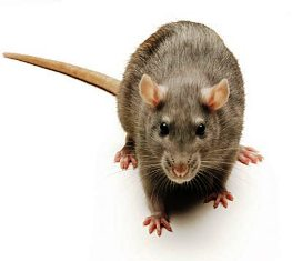 The brown rat is found worldwide, with the exception of the polar regions