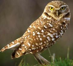 burrowing owl bird in Florida