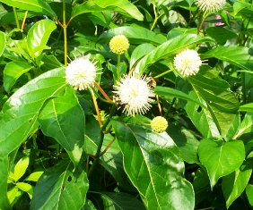 Florida's buttonbush, a butterfly favorite