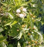 Native Floridian Buttonbush plant