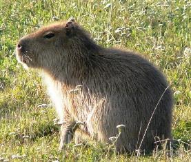 Strange sheep-sized rodents with webbed feet are showing up in Florida's rivers and canals! These weird looking animals are capybara – a 100-lb guinea-pig-like creature.