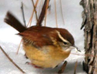 small carolina wren in the snow