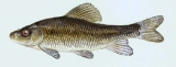 The grass carp is actually one of the largest members of the minnow family.