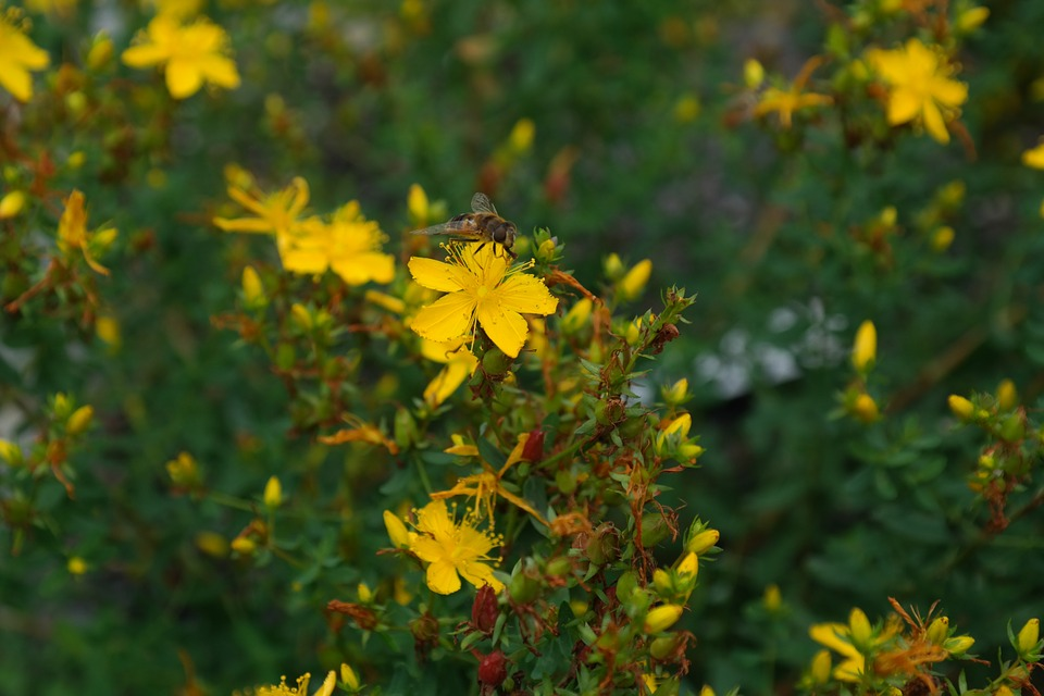 5 petaled coastal plain St. Johns wort flower