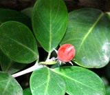 Coco pum bush, a floridian native plant with a small berry sprouting