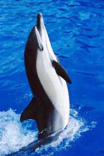 Common dolphins are colorful, with a complex crisscross or hourglass color pattern on the side