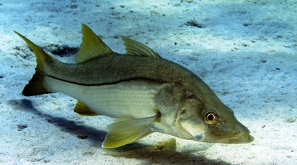 Snook Fish In Florida Waters