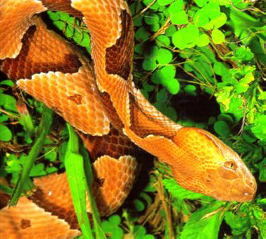 Southern copperhead snake found in northern Florida and the panhandle