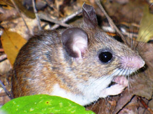 Cotton and White-footed mice are very similar. The size of the cotton mouse is medium to large with a total length of 170-188 mm and a weight of 25-39 grams.