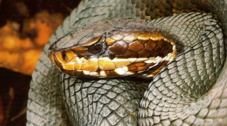 Florida cottonmouth or water moccasin snake