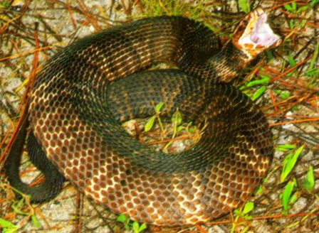 "Florida Cottonmouth or water moccasin showing his white ""cotton mouth"""