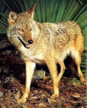 adult coyote spotted in Florida