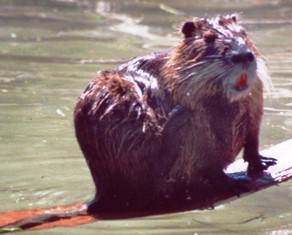 Coypu, or Nutria as they are sometimes called, are covered with a soft, dense, slate-colored coat with long bristles.