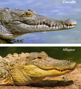comparasion chart of the american crocodile and the alligator
