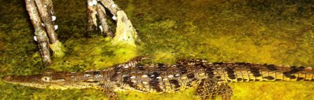 A young crocodile swimming through the Evergaldes