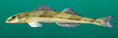 Cystal darter fish, a threatened fish in the sate of Florida