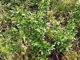 dwarf live oak shrub a floridian native plant