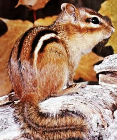 eastern chipmunk found in areas of Florida