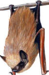 The eastern pipistrelle, Florida's smallest bat, is a dainty yellowish- to light-brown-colored bat found throughout most of the state.