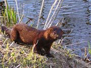 everglades mink found in Florida
