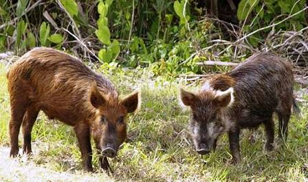 Feral pigs raoming the state of Florida