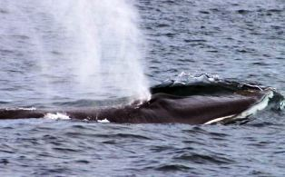 Fin whales feed mainly on small shrimp-like creatures called krill or euphausiids and schooling fish