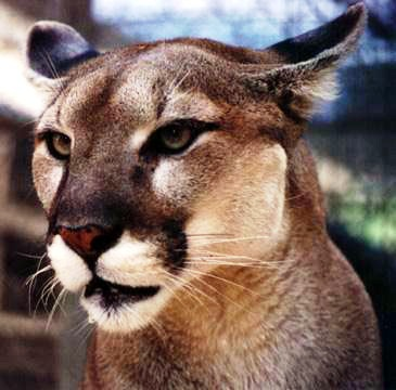 florida panther one of the most endangered species in the the state of Florida