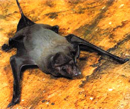 The Wagner's mastiff bat is Florida's largest bat and is found in southern Florida