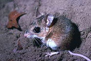 florida field mouse