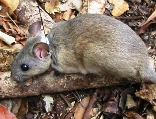 A subspecies of the Florida woodrat is the Key Largo woodrat, an endangered species  found only in the Florida keys