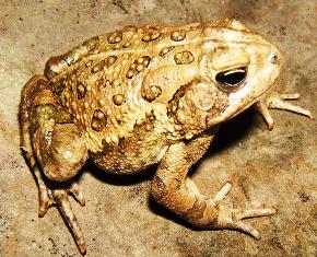 Fowler's Toad in Florida