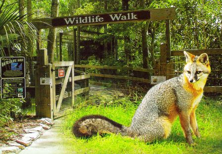 red and gray fox are just a few of the native animal found at Homossassa Springs State Wildlife Park