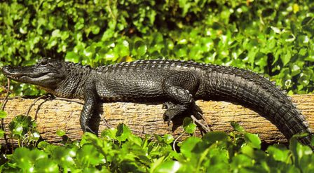 Florida alligator sunning on a log