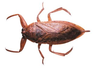 giant waterbug