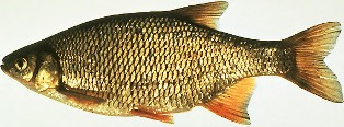 The golden shiner is often found in vegetated ponds and lakes, and sometimes found in slack waters of rivers.