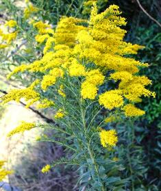 Bative Floridian plant, the golden rods is a great butterfly attractor