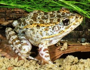 Florida gopher frog, an amphibian of concern in the state of Florida