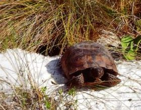 The endangered Florida Gopher Turtle